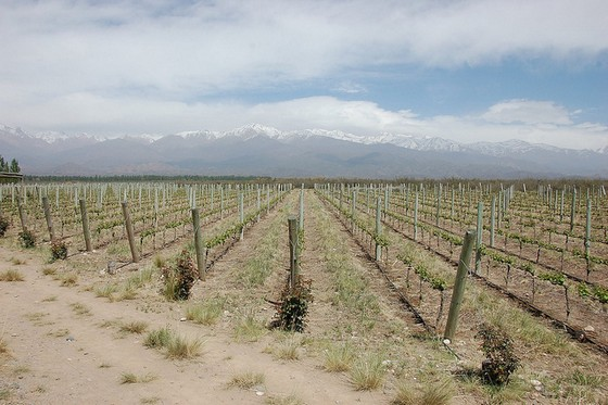 Mendoza vineyards 3